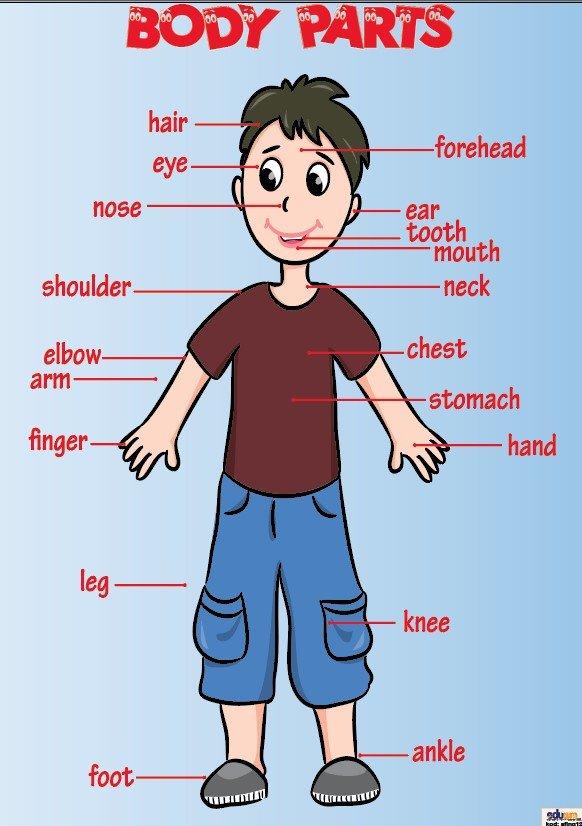 Ngilizce Body Parts Afii Okul Avm